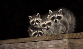 Four cute baby raccoons on a deck railing Stock Photos