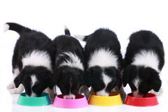 Four cute border collie puppies in a row. At their food bowls stock photo