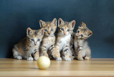 Four cute cats. Looking at the ball royalty free stock photography