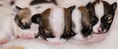 Four cute chihuahua puppies suckling their mother Stock Photo