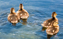 Four cute ducklings swimming away. Four cute young ducklings swimming away on water in different directions Royalty Free Stock Photo