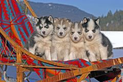 Four cute Husky puppies in sled, dreaming of adventures. Siberian Husky, four adorable puppies, six weeks old together in dogsled Royalty Free Stock Image