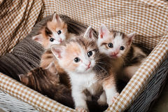 Four cute kitten. In a white basket Royalty Free Stock Photo
