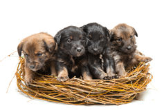 Four cute little puppies in straw nest Stock Image