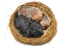 Four cute little puppies in straw nest Royalty Free Stock Photos