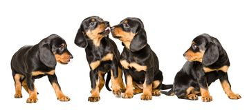 Four cute puppies breed Slovakian Hund together royalty free stock images