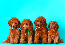 Four cute red puppy. Many dogs sitting. Poodle in bright bows. Stock Photo