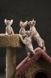 Four cute sphinx kitten. On the cat house Royalty Free Stock Images