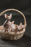 Four cute sphynx kitten. Four cute sphinx kitten on the cat house Royalty Free Stock Photo