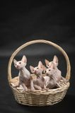 Four cute sphynx kitten. Four cute sphinx kitten on the cat house Stock Photo