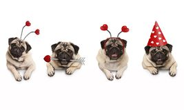 Four cute Valentine love pug puppy dogs, with hearts, hanging on white banner. Isolated royalty free stock photos