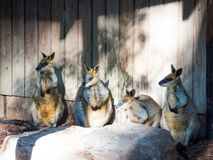 Four cute wallaby standing together in the zoo. royalty free stock image