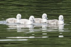 Four cygnets on Southampton Common royalty free stock image