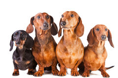 Four Dachshund Dogs sitting on white Royalty Free Stock Photography