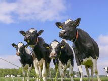 Four dairy cows, black and white Holsteins, standing in line in a meadow.