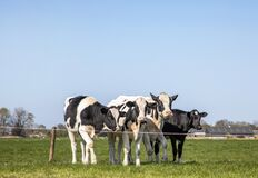 Four dairy cows, heifer, black and white Holsteins, standing in line in a meadow under a blue sky and a faraway straight horizon