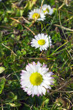 Four daisies Royalty Free Stock Photos
