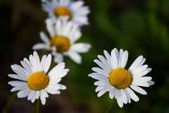 Four daisies seen from very close Royalty Free Stock Photo