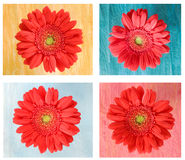 Four daisies on squares Stock Images