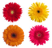 Four daisy-gerbera flowers. Isolated on white background Royalty Free Stock Image