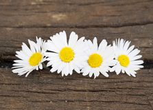 Four Daisy in spring Stock Images