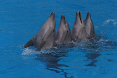 Four dancing dolphins Stock Photo