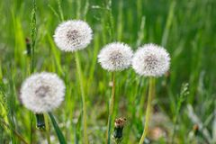 Four dandelion with white caps on a background of green grass on a sunny afternoon. Close-up stock image