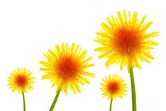 Four dandelions Stock Photography