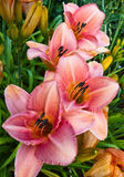Four daylilies Stock Photo