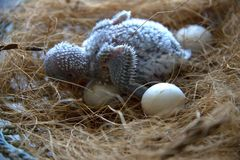 Four days old budgie and parrot`s eggs in the nest. stock images