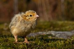 Four days old quail, Coturnix japonica.....photographed in nature royalty free stock photo