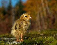Four days old quail, Coturnix japonica.....photographed in nature stock photos