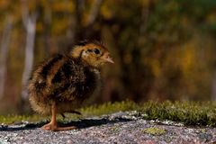 Four days old quail, Coturnix japonica.....photographed in nature royalty free stock image