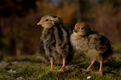Four days old quail, Coturnix japonica.....photographed in nature royalty free stock photos