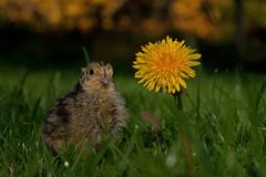 Four days old quail, Coturnix japonica.....photographed in nature. Breed by hoby growers in Sweden. The Japanese quail, Coturnix japonica, is a species of Old royalty free stock photography