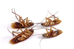 Four dead cockroaches royalty free stock image