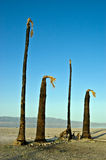 Four Dead Palm Trees. This is an image of 4 dead and burned palm trees taken in Salton City on the shore of the Salton Sea, California Royalty Free Stock Images