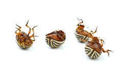 Four dead potato bugs (leptinotarsa decemlineata) Royalty Free Stock Images