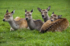 Four deer. Resting in the grass Royalty Free Stock Image