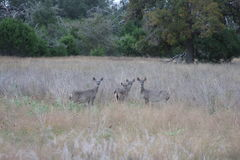Four Deer in South Texas. This picture was taken in Welfare Texas. I was taking pictures of two deer and turned around to see four deer watching me Royalty Free Stock Photography