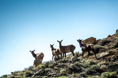 Four deers, elks on the mountains in Chaco Royalty Free Stock Photos