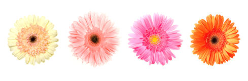 Four different gerberas on white. Four different color gerberas on white, purple, pink, avalanche white, orange Stock Photos