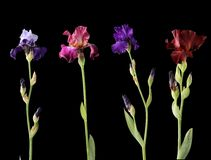 Four different irises Stock Image