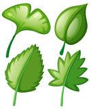 Four different kinds of leaves. Illustration Stock Photos