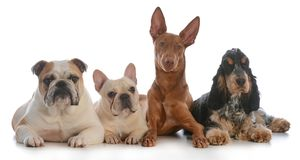 Four different purebred dogs. Laying down isolated on white background Royalty Free Stock Photography