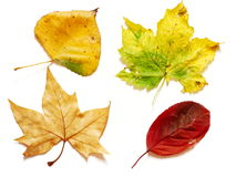 Four different shaped and colored leaves. Four different shapes and colors in autumn leaves photographed on white background Stock Photos