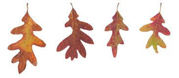 Four Oak Leaves on a White Background. Four different sized autumn oak leaves on a white background. The leaves are in various states of change. Brown, orange royalty free stock image