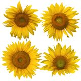 Four different sunflowers isolated against white Stock Image