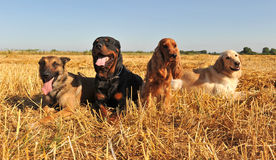 Four dogs. Lying down in a field Royalty Free Stock Images