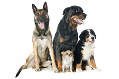 Four dogs. Portrait of a purebred bernese mountain dog, malinois, chihuahua and rottweiler in front of white background Stock Images